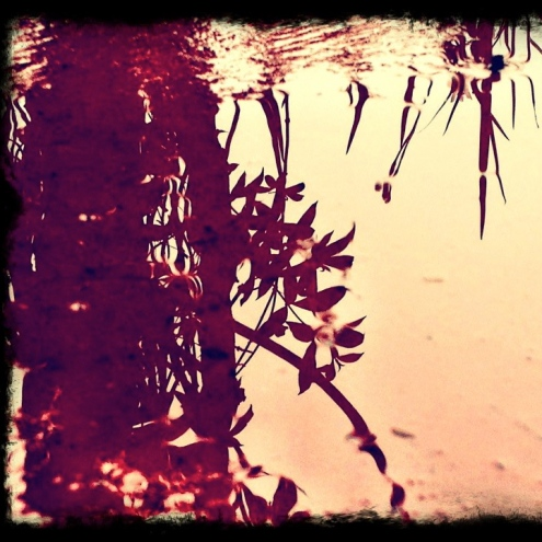 reflection of liliies