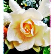 wow gardenia